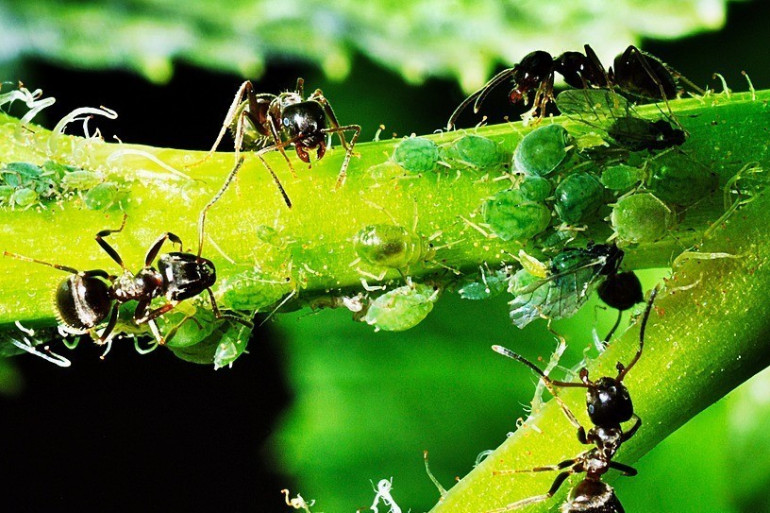 Des fourmis sur une feuille (image d'illustration)