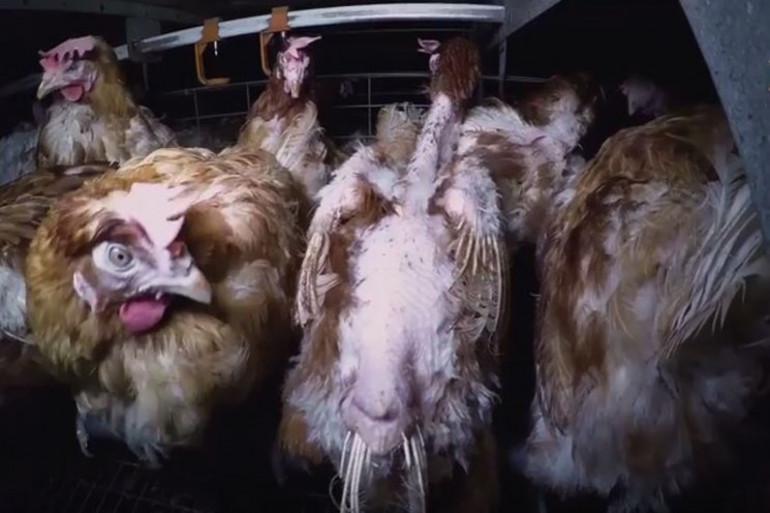 Les poules sont entassés dans un abattoir en Vendée.