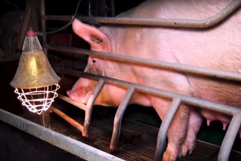 Les cochons sont enfermés dans le noir dans les élevages pointés du doigt par L214.