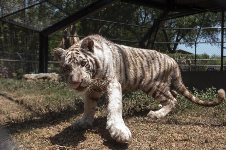 """Ce bébé tigre du Bengal âgé de 7 mois a été baptisé """"Gignac"""", en l'honneur de l'attaquant français."""