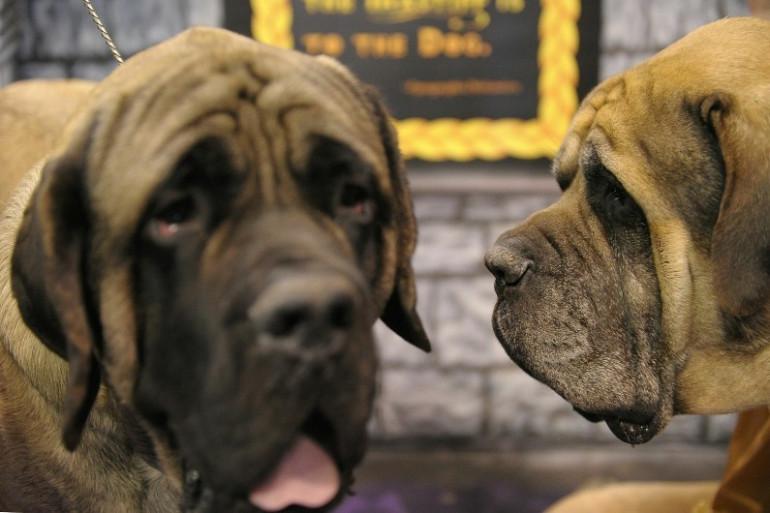 Des chiens de race Mastiff
