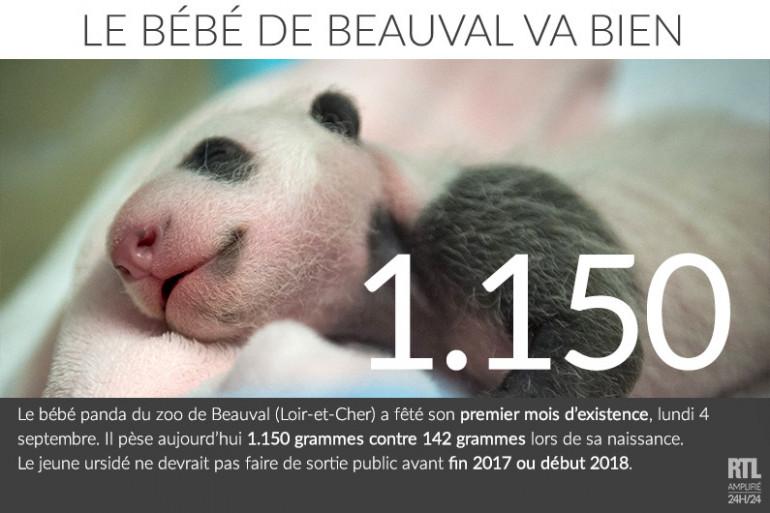 Le bébé panda du zoo de Beauval fête son 1er mois avec une belle prise de poids