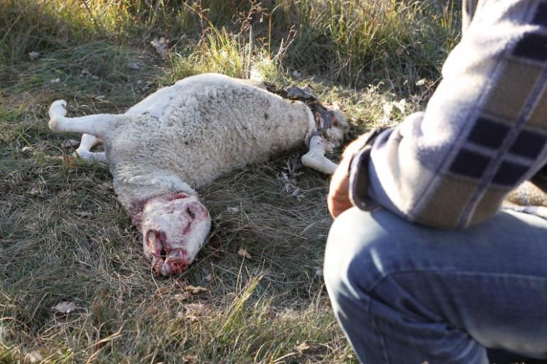 Plus de 8.000 brebis ont été tuées par des loups en 2014.