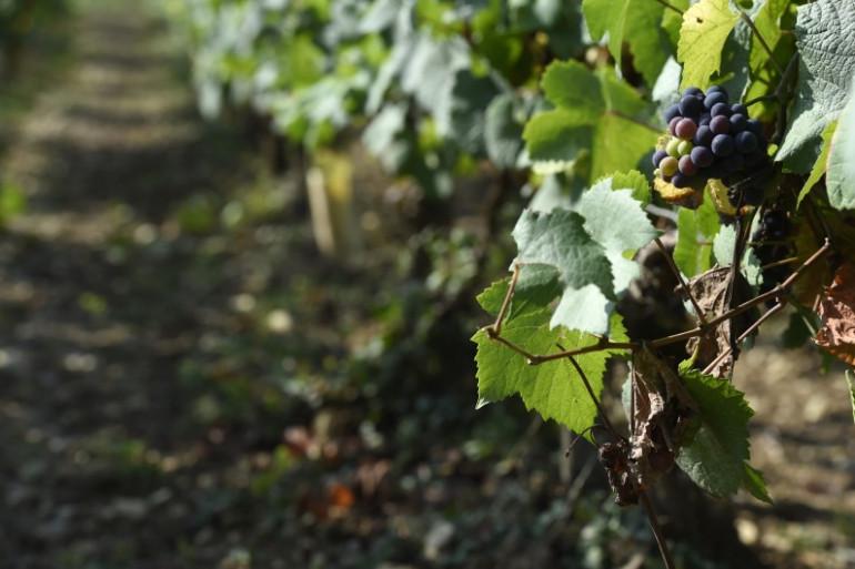 La production mondiale de vin a chuté de 8,2% en 2017 à 246,7 millions d'hectolitres (Mhl), au plus bas depuis plus de 50 ans.
