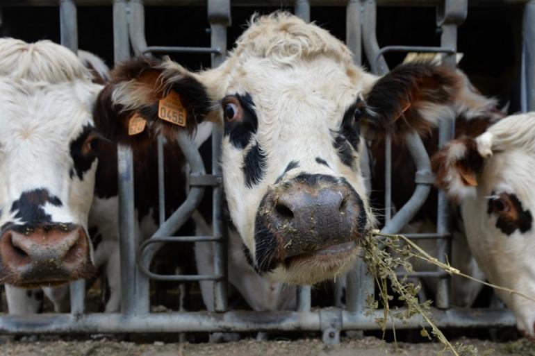 Une vache normande dans une étable (Illustration)