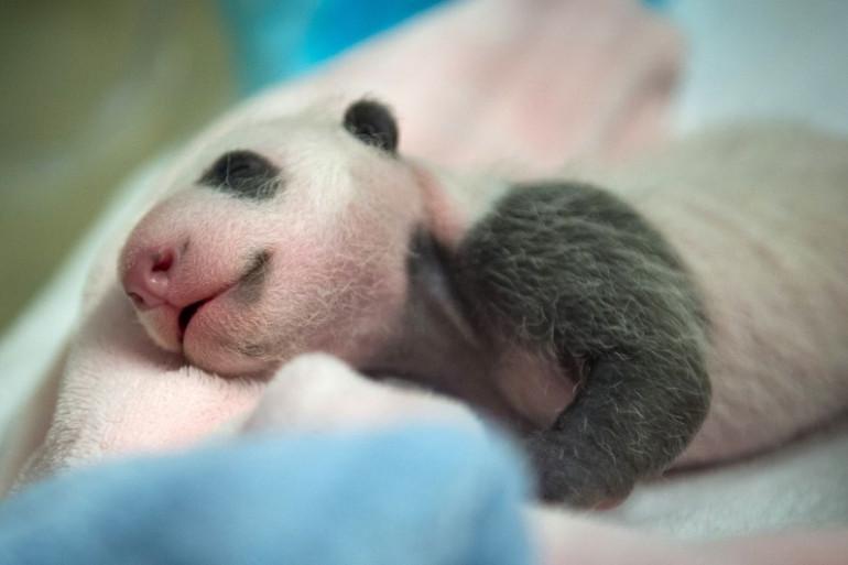 Le bébé panda du Zoo de Beauval, une vingtaine de jours après sa naissance