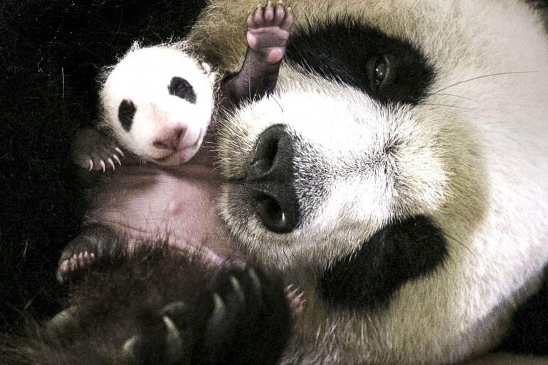 Mini Yuan Zi, le bébé panda du zoo de Beauval, en compagnie de sa mère, le 7 novembre 2017