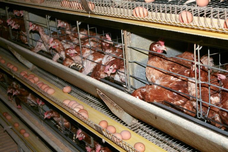 Élevage de poules pondeuses dans la région Pays-de-Loire.