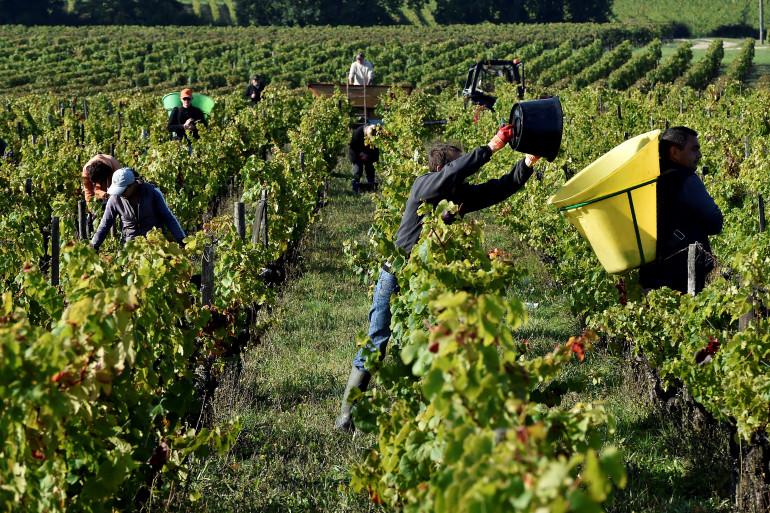 Une récolte de raisins dans le vignoble du château les Jonqueyres, près de Bordeaux, le 20 septembre 2017.