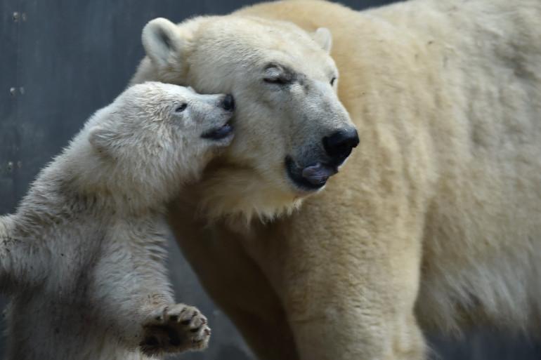 Des ours polaires (illustration)