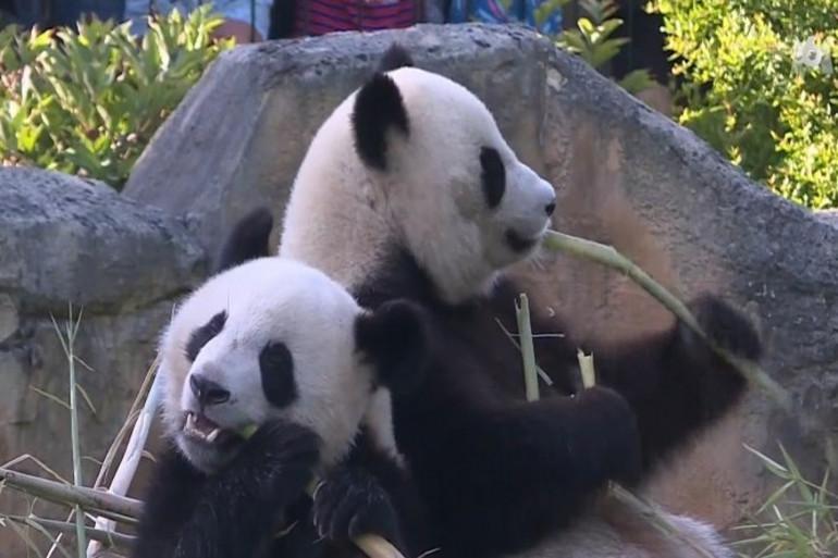 Zoo de Beauval : le panda Yuan Meng fête ses deux ans
