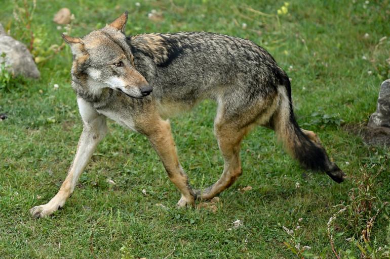 Un loup gris dans un zoo, en Belgique.