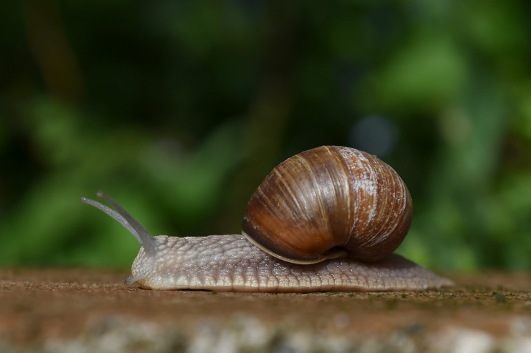 L'escargot peut servir à fabriquer de la colle chirurgicale.
