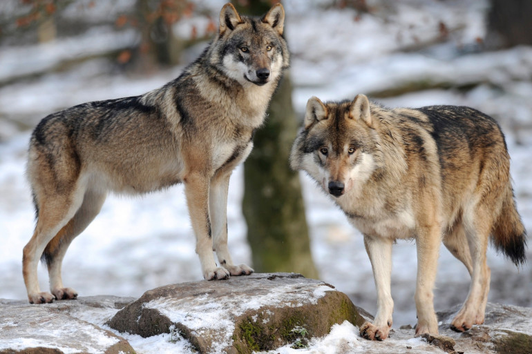 Des loups dans le parc animalier de Sainte-Croix en 2012 (illustration)