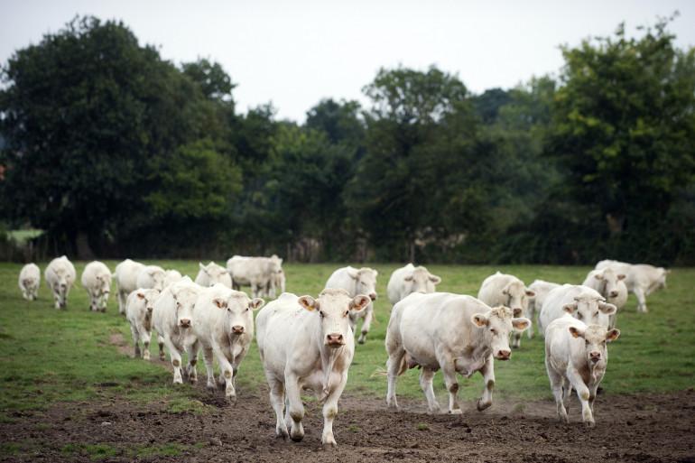 Des bœufs dans une ferme à Montilliers, dans l'ouest de la France