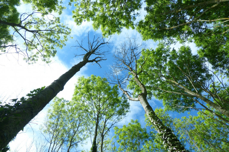 Des frênes sains et d'autres victimes de la chalarose / A. Dowkiw