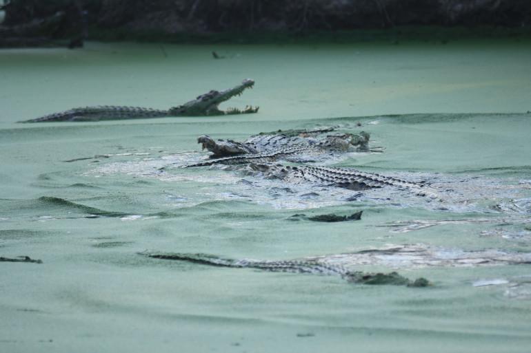 Des crocodiles dans un lac (photo d'illustration)