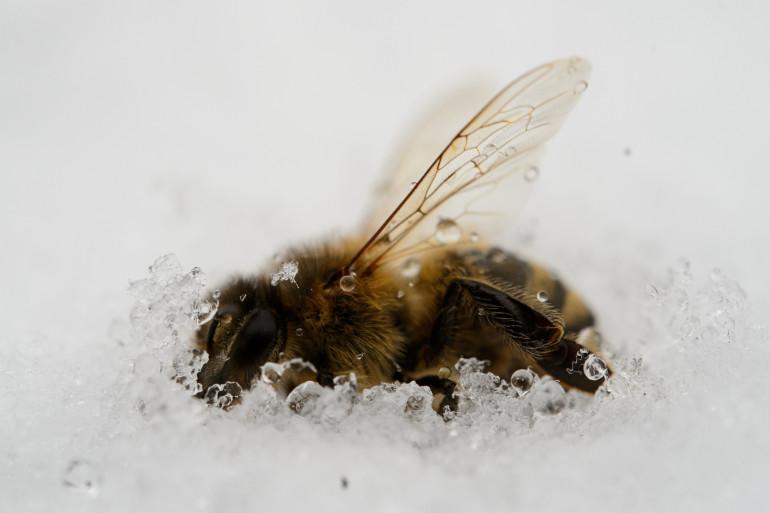 Les abeilles pâtissent du retour du froid, comme ici en Allemagne (Illustration)
