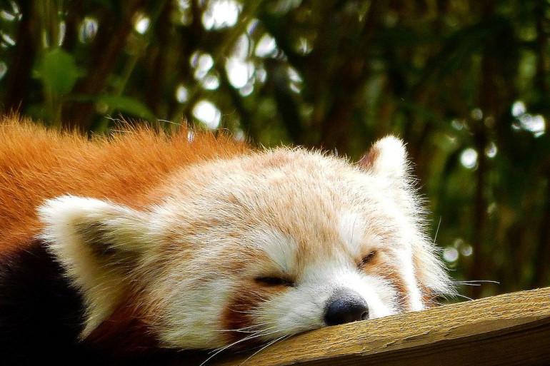 Portrait_de_Panda_roux