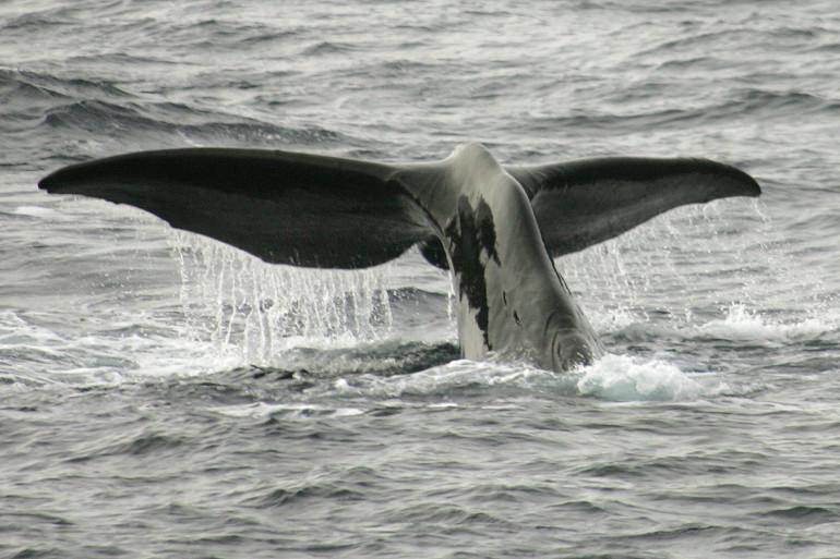 Un cachalot dans l'Antarctique (illustration)