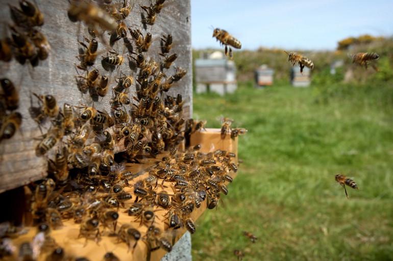 Des abeilles à l'entrée d'une ruche sur l'île d'Ouessant, dans le Finistère (illustration)