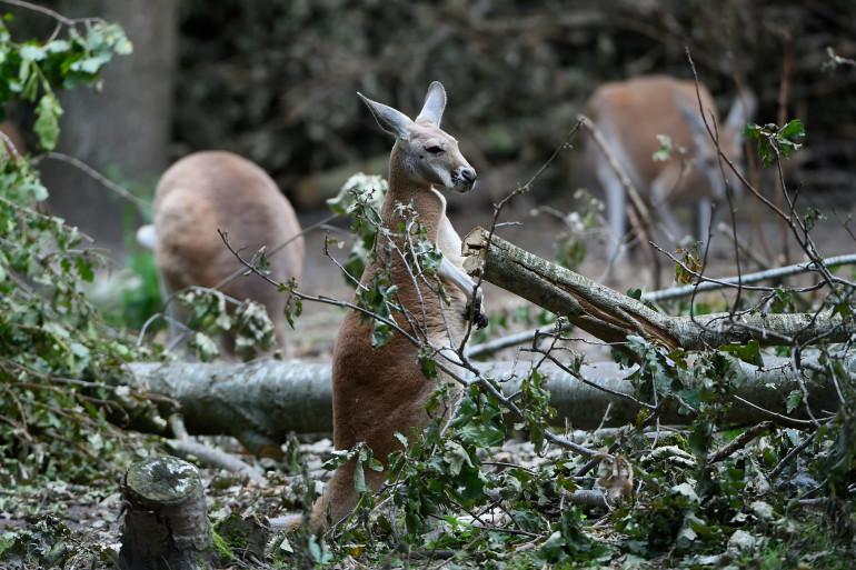 Un kangourou dans un parc (illustration)