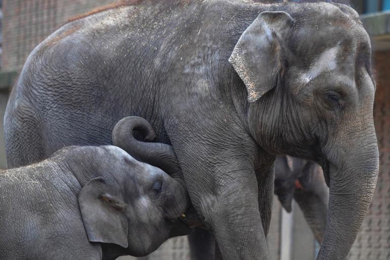 Les éléphants d'Asie menacés par le braconnage pour leur peau