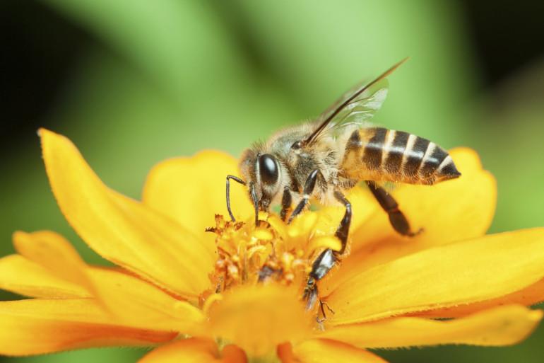 Une abeille butinant une fleur (Illustration)
