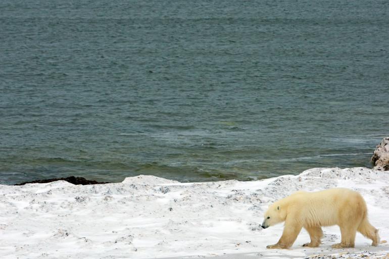 Un ours sur la banquise (Illustration)