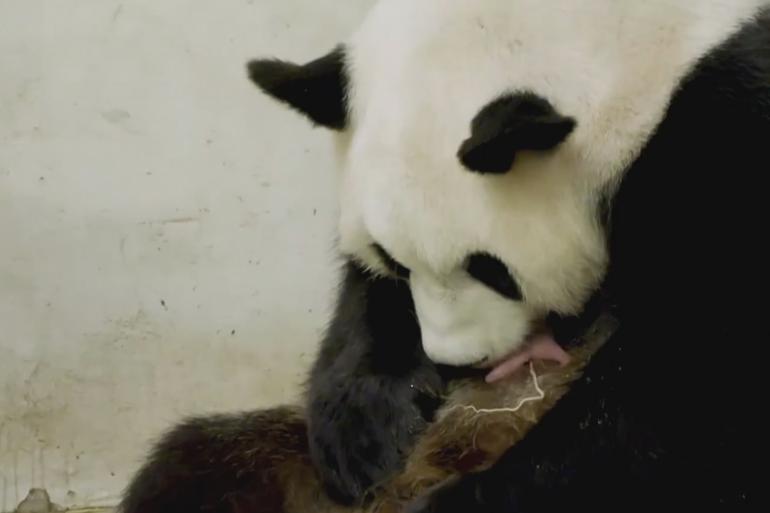 Les deux bébés pandas sont nés dans un zoo belge le 8 août dernier.