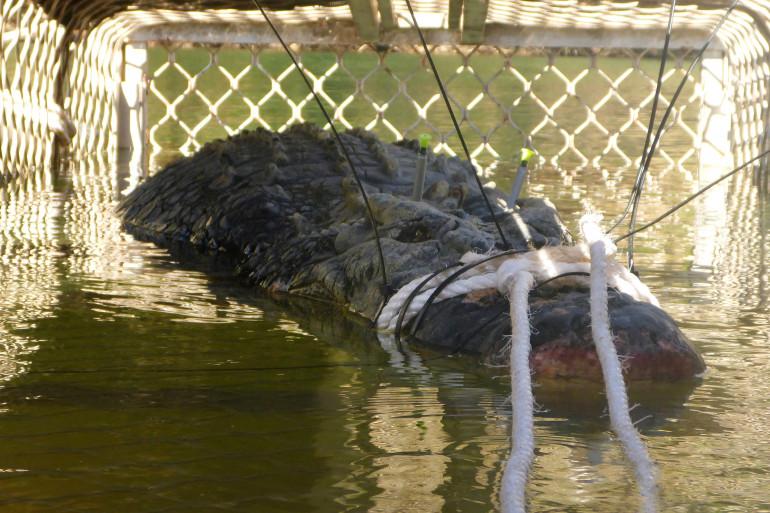 Le crocodile capturé en Australie pèse 600 kilos.