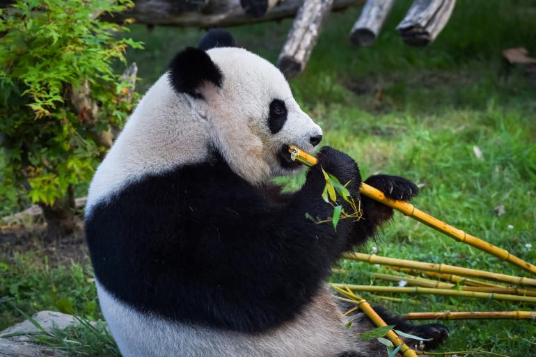 Yuan Meng savoure des morceaux de bambou au zoo de Beauval