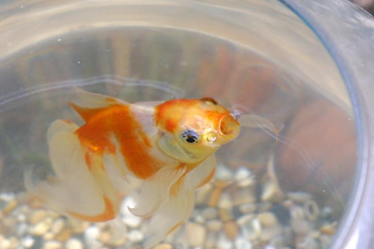 Un poisson rouge, ou Carassius auratus.