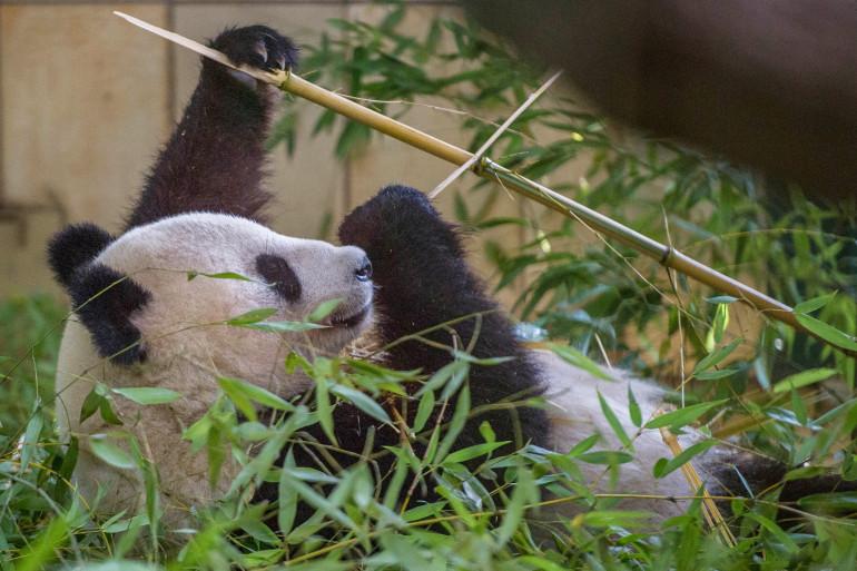 Yang Yang le panda, dans son zoo à Vienne, le 27 août 2014.