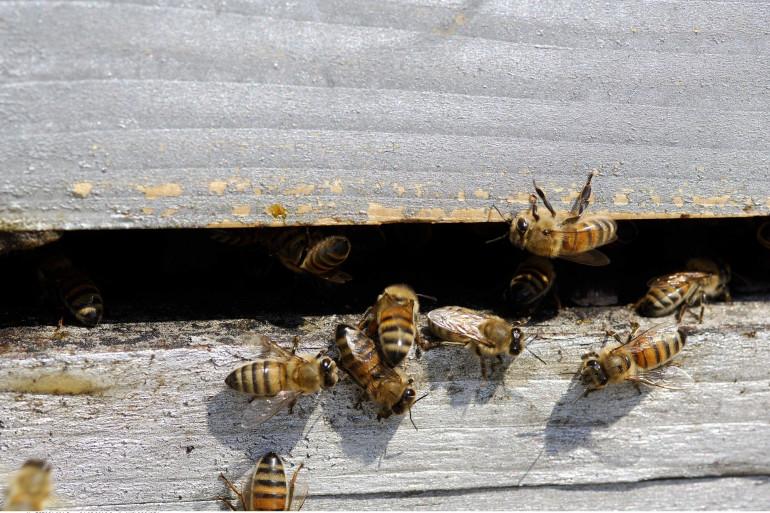 Des abeilles à l'entrée d'une ruche (illustration).
