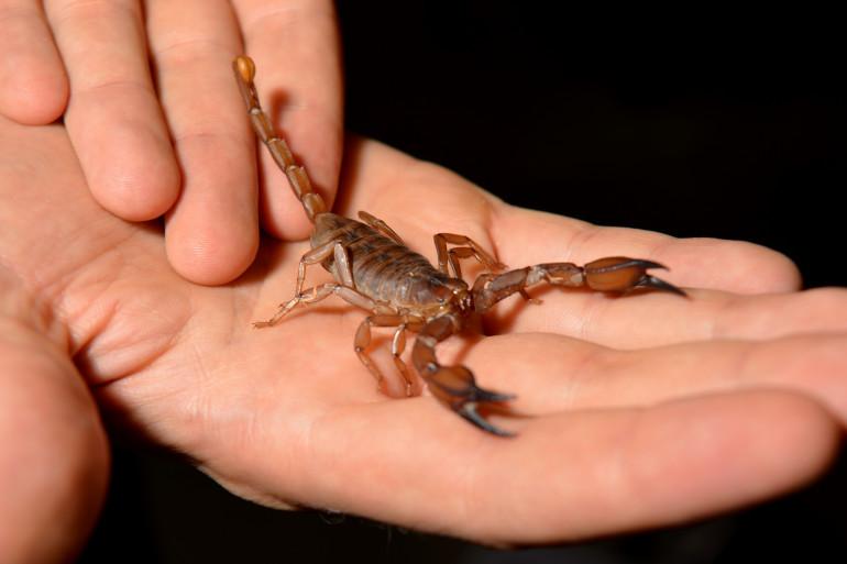 Un scorpion (Illustration).