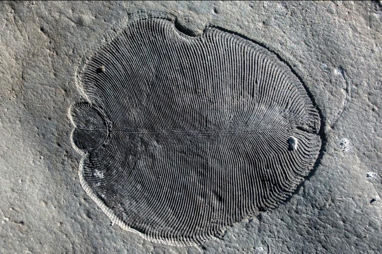 """Le """"Dickinsonia"""" était un animal ovale et plat de plusieurs dizaines de centimètres, possédant une dorsale centrale"""