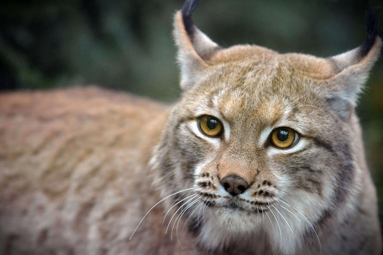 Un lynx dans la nature (illustration)