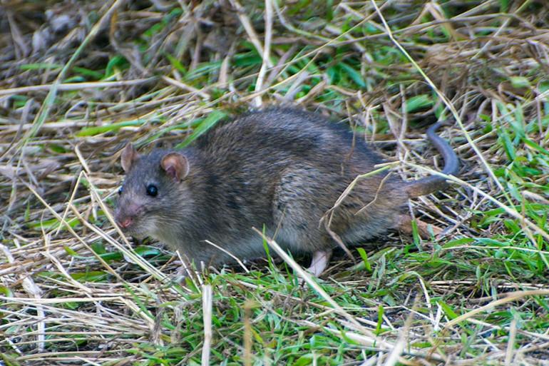 Le rat est un des rongeurs porteurs du virus de l'hépatite E.