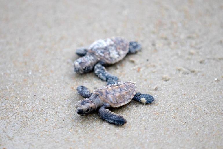 Des bébés tortues sur une plage (illustration)