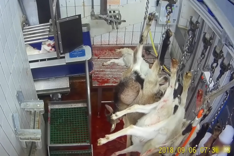 L214 a publié une nouvelle vidéo tournée dans un abattoir de l'Indre