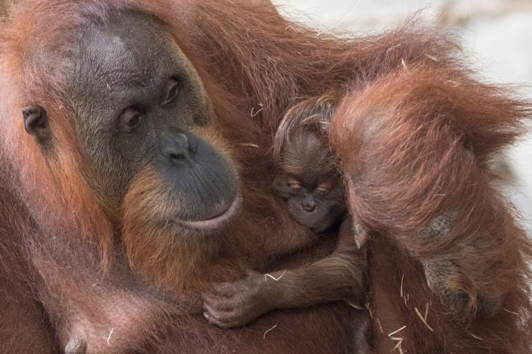 Une femelle orang-outan avec son petit (photo d'illustration).