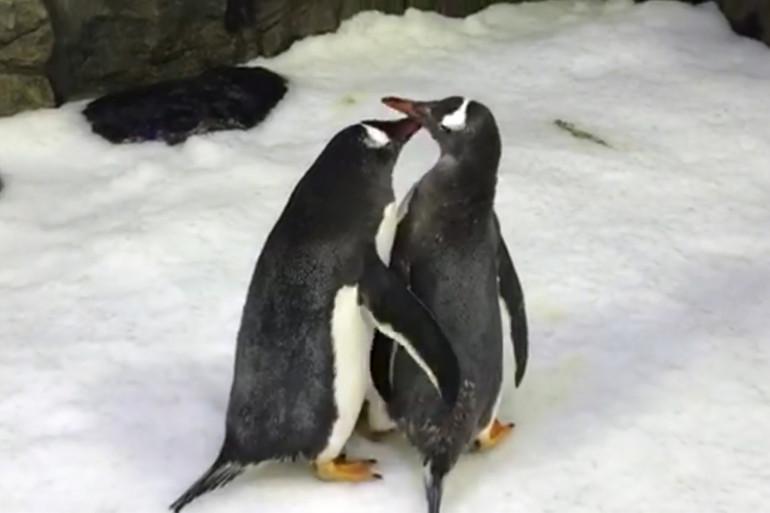 Sphen et Magic, le couple de manchots du zoo marin de Sydney