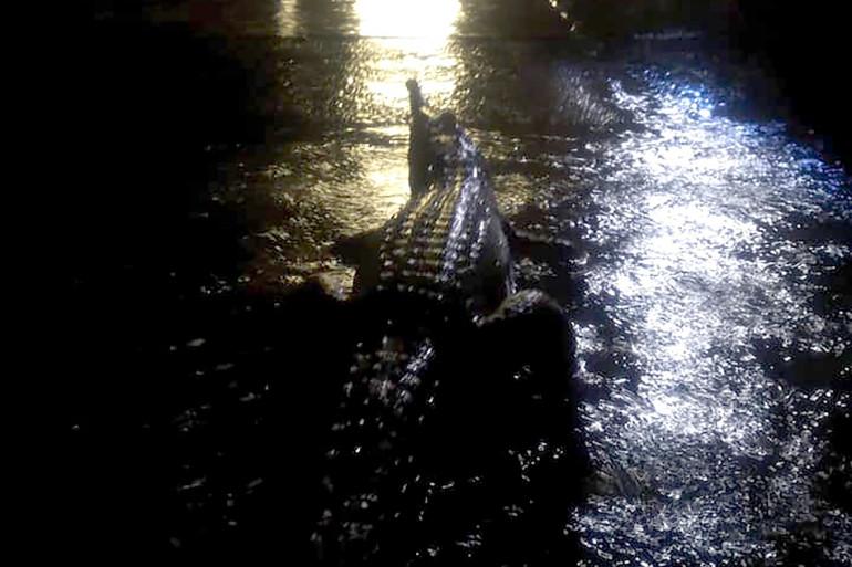 Un crocodile dans les rues inondées de Townsville le 2 février 2019, en Australie
