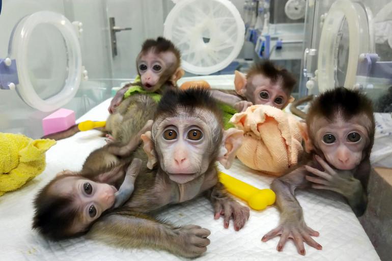 Des macaques clonés en novembre 2018, à l'Institut de recherche de Shangaï (illustration)