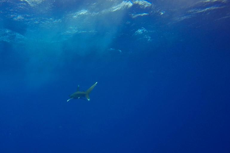 Un requin bleu (illustration)
