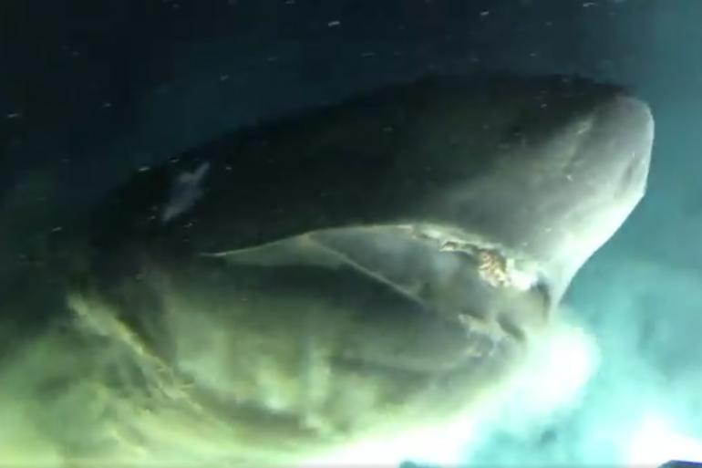 Le requin griset tracé par les chercheurs d'OceanX (illustration)
