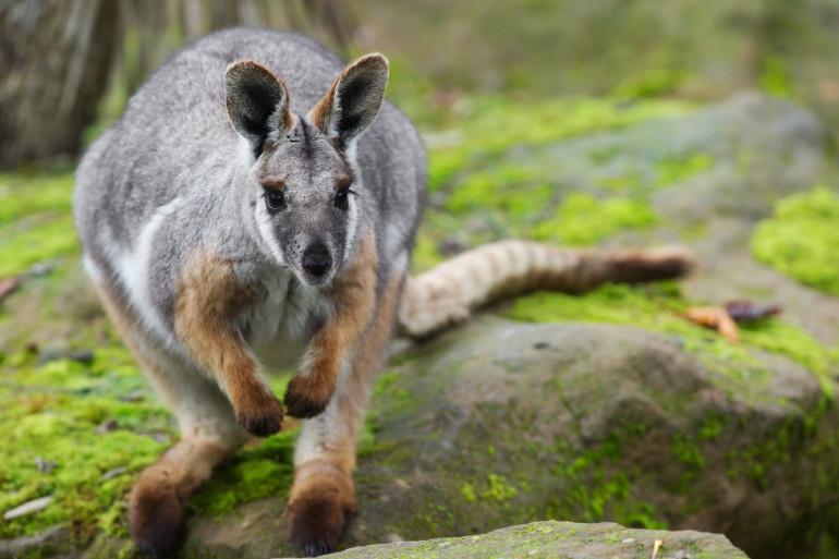 Un bébé wallaby (image d'illustration)