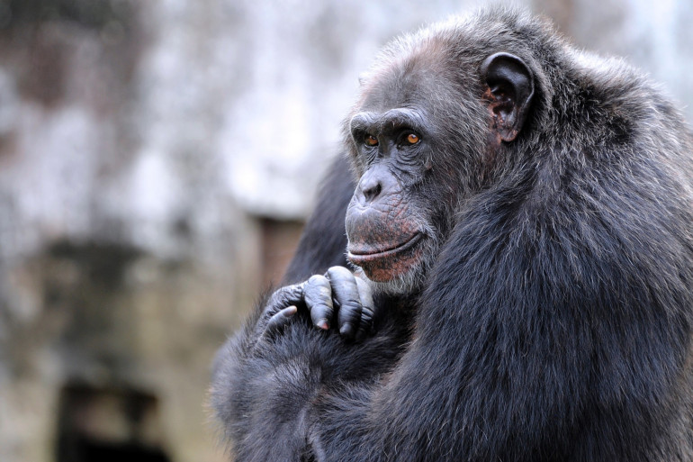 Un chimpanzé (illustration)