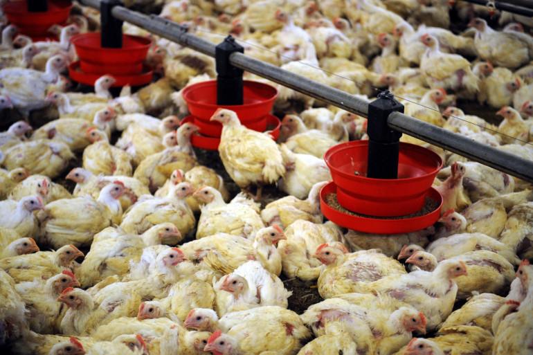 Un élevage de poulets (illustration)